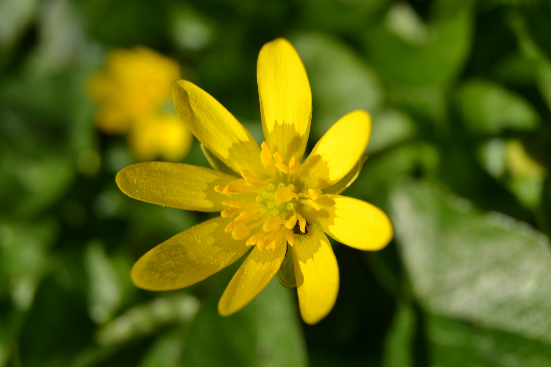 chelidoine-plante-medicinales